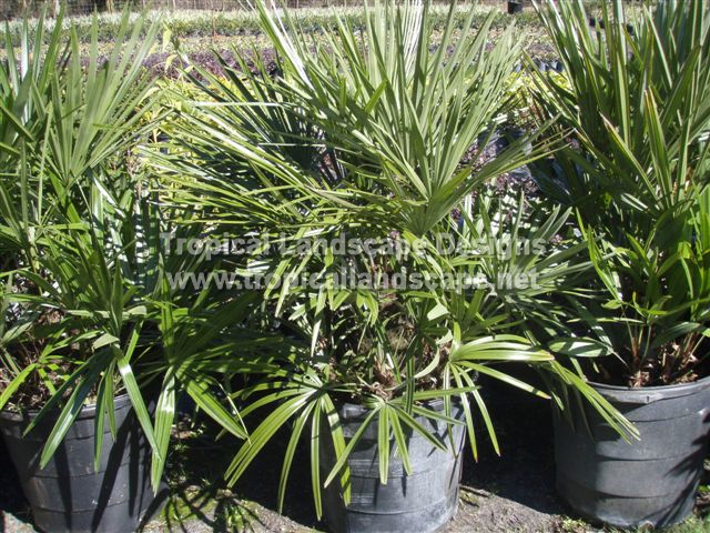Tropical landscaping designs of tampa bay for Tropical low maintenance plants