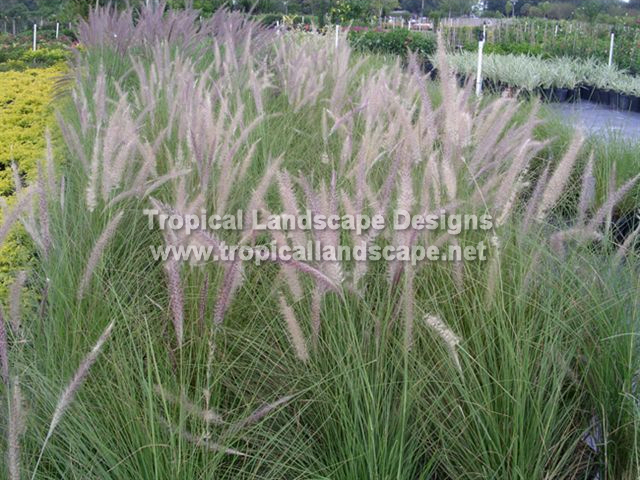Tropical landscaping designs of tampa bay for Small perennial grasses