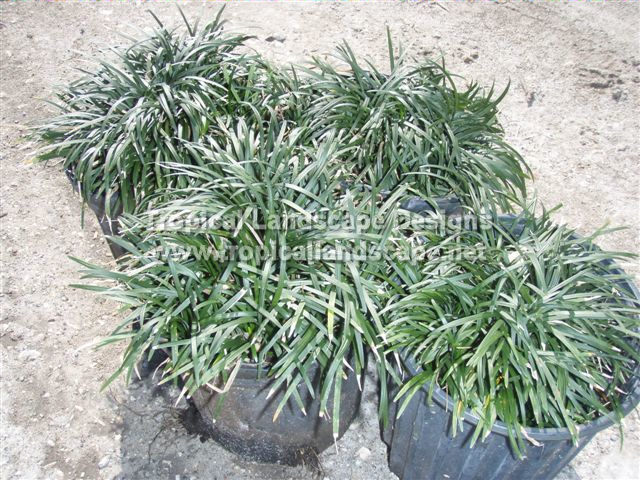 Tropical landscaping designs of tampa bay for Border grasses for landscaping